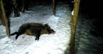 Охота на кабана в ночное время
