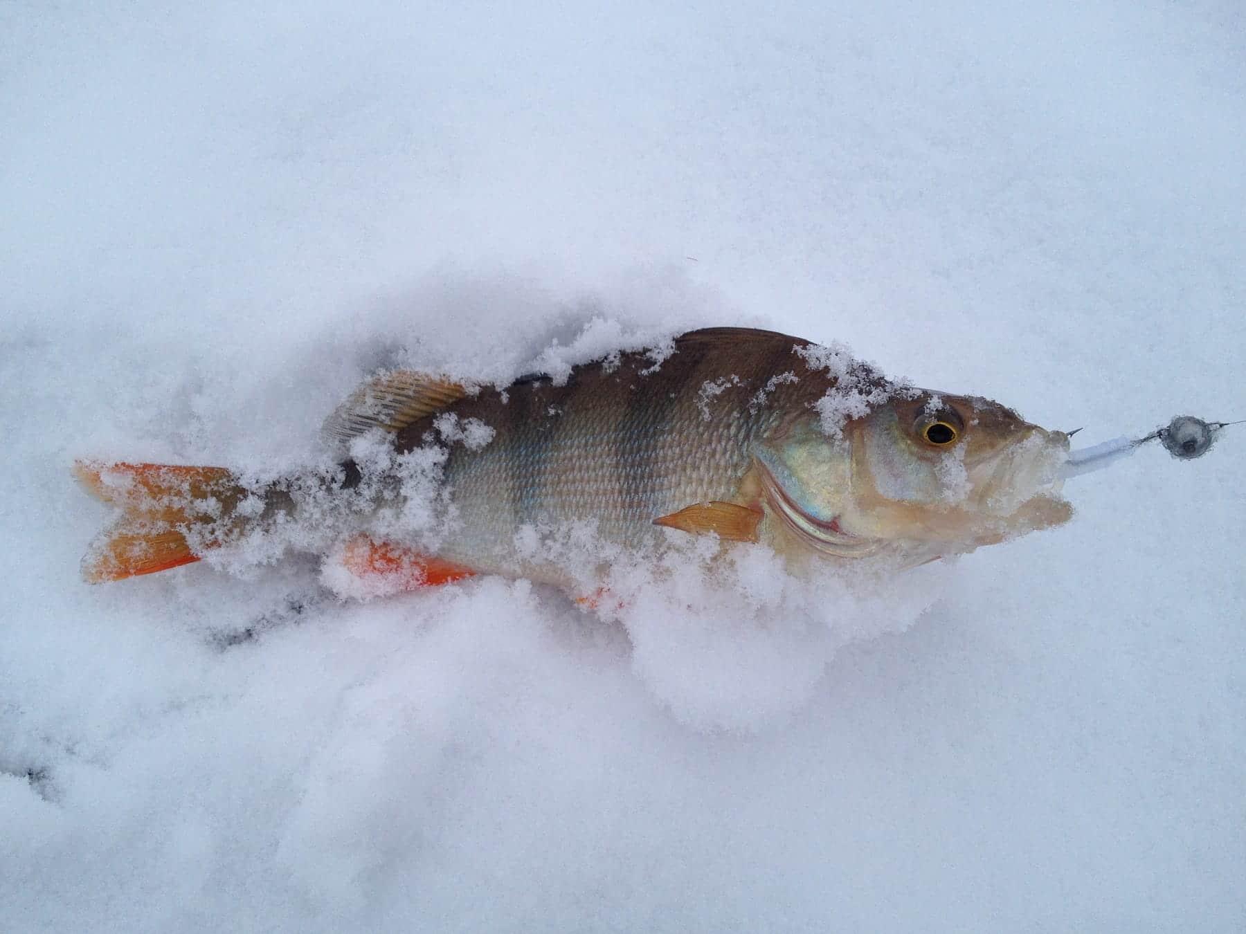Зимняя ловля окуня на реке