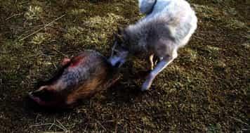 Ночная охота на барсука с лайками
