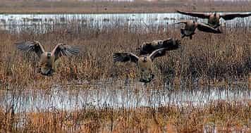 Охота на гуся весной на болоте