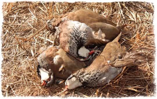 Охота на куропатку осенью: где искать, какое оружие и манки использовать