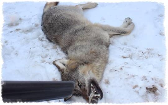 Способы ружейной охоты на волка в зимнее время