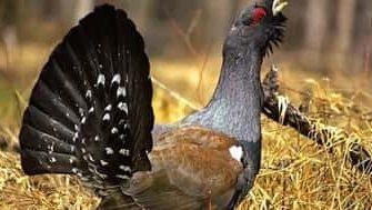 Охота на глухаря осенью с подхода: нюансы и секреты от бывалых охотников