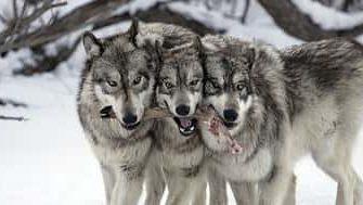 виды охоты на волка