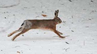 Охота на зайца по чернотропу без собаки - сроки проведения и места обитания
