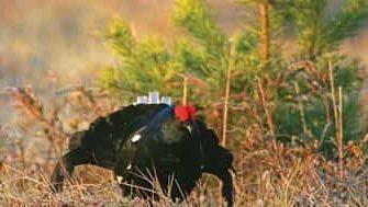 охота на тетерева с чучелами осенью