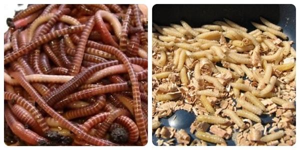 черви и опарыши как приманка для рыбы
