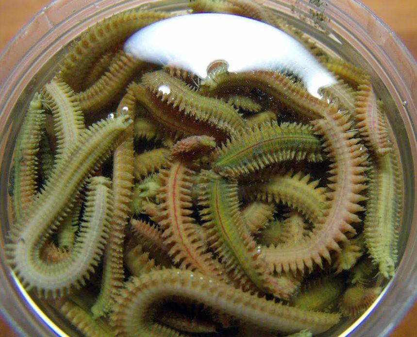 Лиманный червь нереис